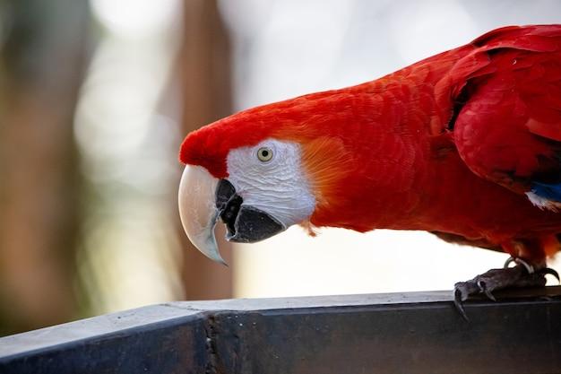 Linda arara vermelha se alimentando no jardim