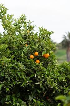 Linda árvore com frutos maduros de laranja