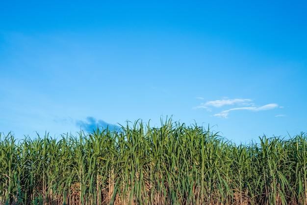 Linda árvore de cana verde no céu azul