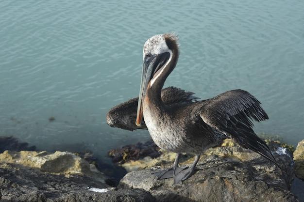 Linda ave aquática descansando na costa de aruba