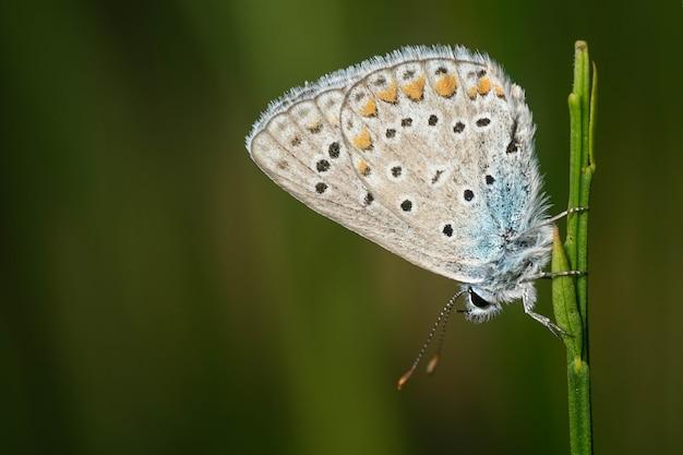 Linda borboleta azul comum pontilhada de laranja e branco em uma folha verde de uma planta