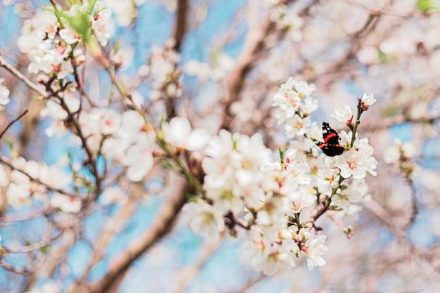 Linda borboleta em flores de amêndoa na árvore com céu azul por trás durante a primavera