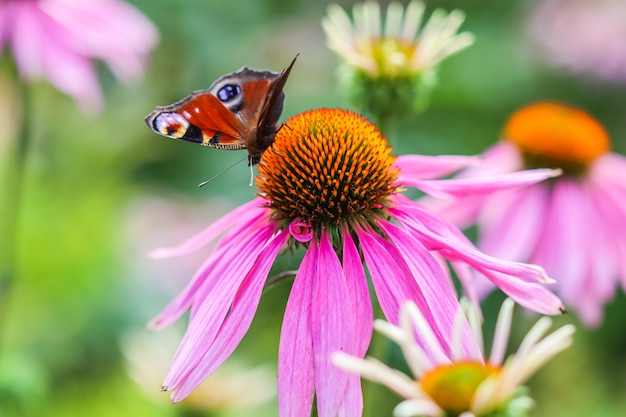 Linda borboleta pavão europeia colorida em equinácea de flor roxa em um jardim ensolarado