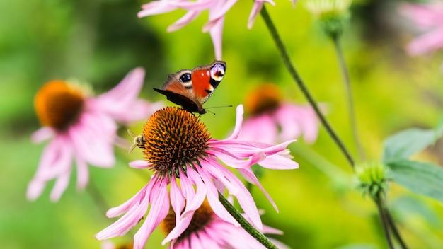 Linda borboleta pavão europeia colorida inachis io aglais io e uma abelha em uma equinácea roxa
