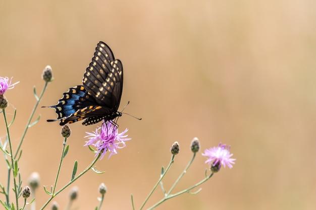 Linda borboleta preta com cauda de andorinha polinizando uma flor roxa de cardo