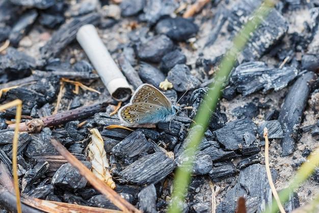 Linda borboleta sentada em brasas extintas ao lado de uma bituca de cigarro