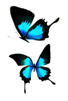 Linda borboleta tropical isolada no fundo branco