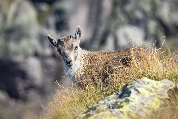 Linda cabra de cauda branca parada nas colinas