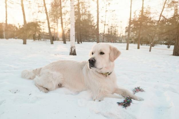 Linda cadela com pedigree deitada na neve durante um passeio no parque