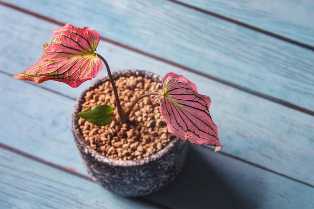 Linda caladium bicolor (aiton) vent. ou rainha das plantas frondosas. colorido de bon deixa em vasos em uma mesa de madeira azul