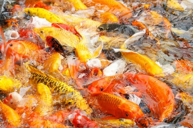 Linda carpa chique ou peixe koi estão nadando na lagoa