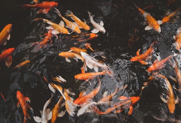 Linda carpa nadando no lago