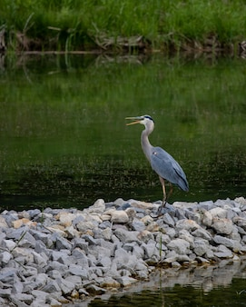 Linda cegonha azul em pé nas pedras perto do lago