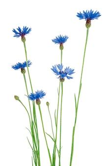 Linda centáurea azul isolada no fundo branco