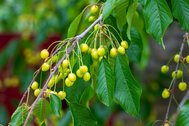 Linda cereja verde, com folhas verdes.