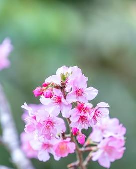 Linda cerejeira sakura com flores florescendo na primavera