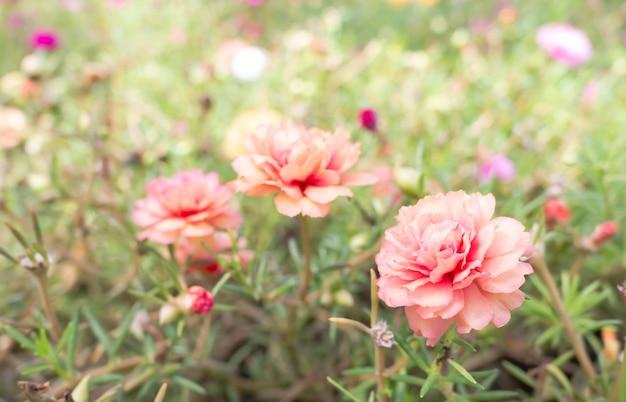 Linda de 3 flores portulaca oleracea na natureza