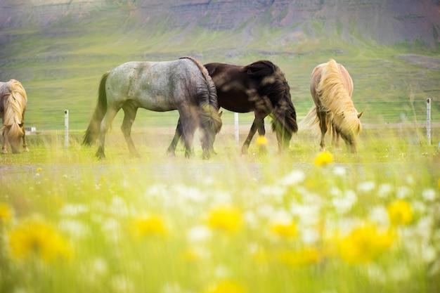 Linda de cavalo islandês na islândia, verão