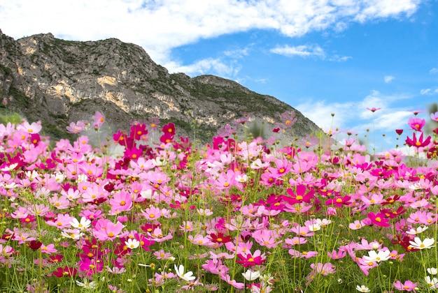 Linda de cosmos campo de flores no fundo da montanha