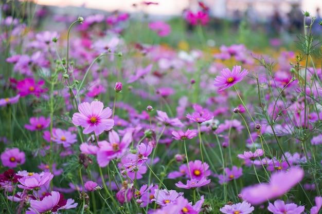Linda de girassóis maxican e flores cosmos