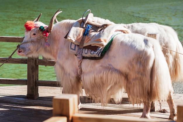 Linda de iaque no vale da lua azul, marco e local popular para atrações turísticas dentro da área cênica de jade dragon snow mountain (yulong), perto da cidade velha de lijiang. lijiang, yunnan, china.