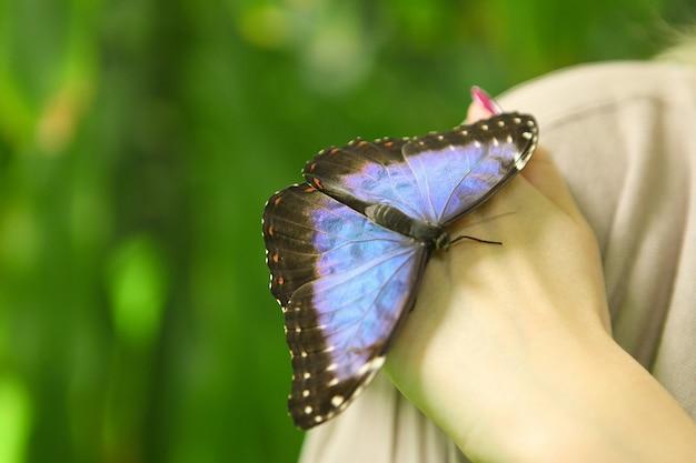 Linda enorme borboleta azul papilio nireus em uma mão de mulheres sobre fundo verde. insetos tropicais exóticos - vida selvagem