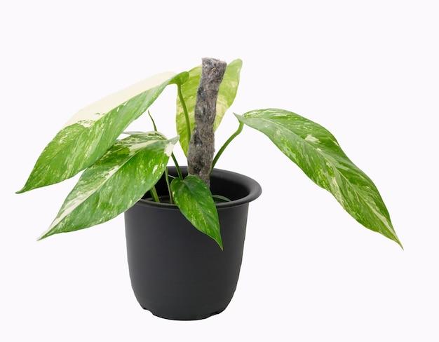 Linda epipremnum pinnatum folha grande variegada com bastão de pano de feltro de lã em vaso preto isolado no fundo branco