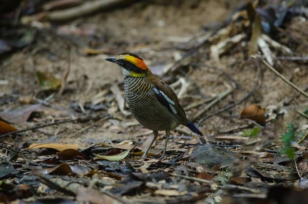 Linda fêmea de pitta em faixas da malásia (hydrornis irena)