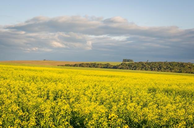 Linda flor amarela de plantação de canola