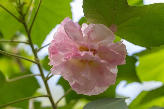 Linda flor branca de hibiscus mutabilis, também conhecida como rosa confederada, rosa dixie ou rosemallow do algodão.