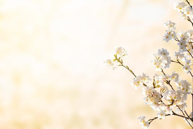 Linda flor de cerejeira. feche a flor branca com espaço de cópia com a luz da manhã