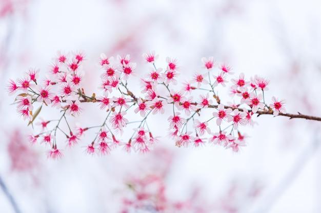 Linda flor de cerejeira rosa, flor de sakura