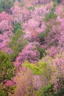 Linda flor de cerejeira rosa