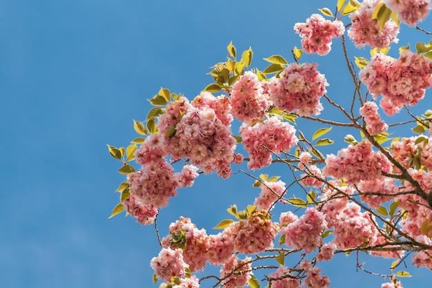 Linda flor de cerejeira sakura na primavera, céu azul.