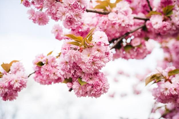 Linda flor de cerejeira sakura na primavera no fundo da natureza