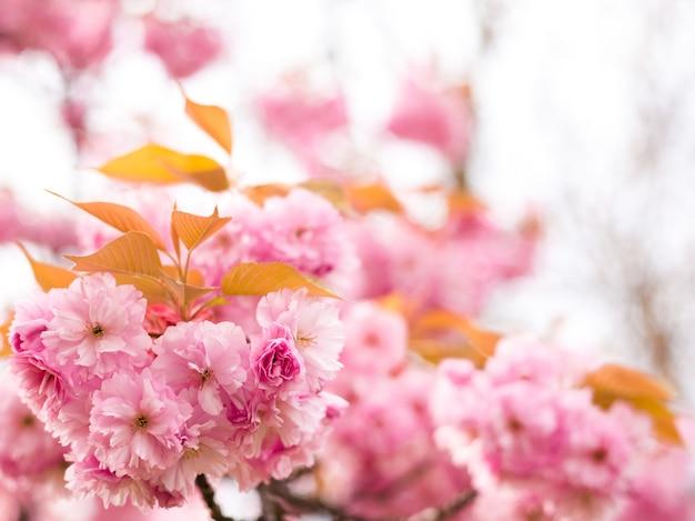 Linda flor de cerejeira sakura na primavera