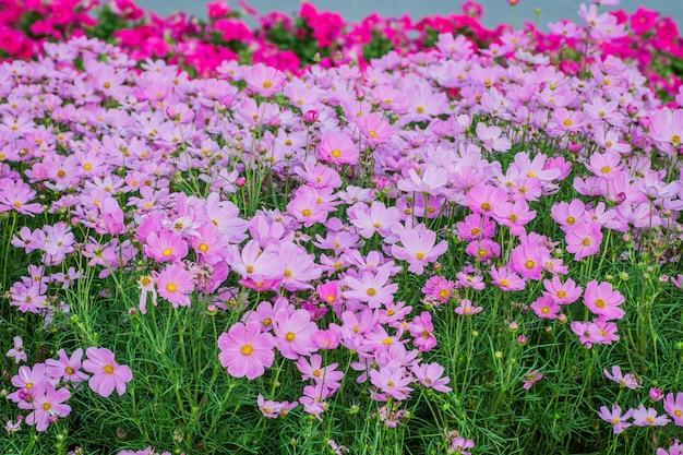 Linda flor de cosmos no campo