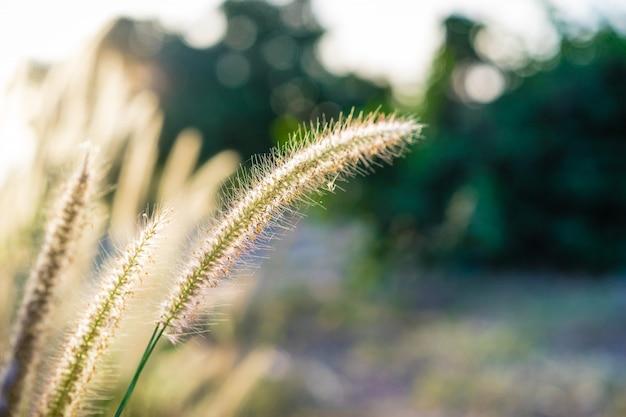 Linda flor de fonte africana florescendo com a luz do sol da manhã