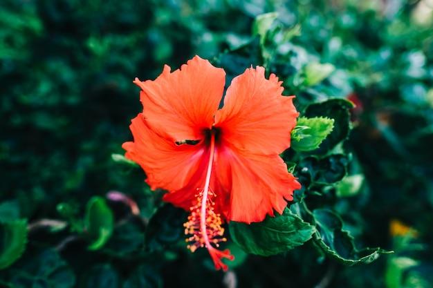 Linda flor de hibisco vermelho, close-up.
