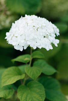 Linda flor de hortênsia branca no jardim de verão