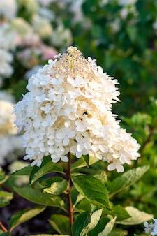 Linda flor de hortênsia branca tenra florescendo no parque