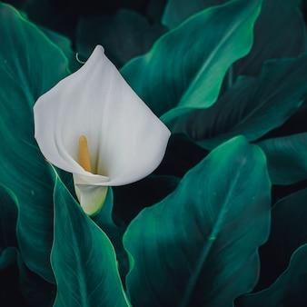 Linda flor de lírio calla no jardim na primavera