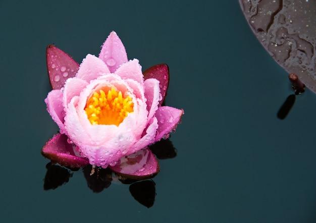 Linda flor de lírio rosa na água