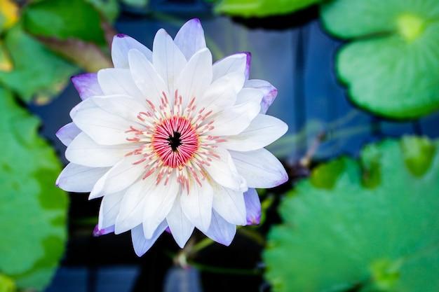 Linda flor de lótus branca com folha verde na lagoa