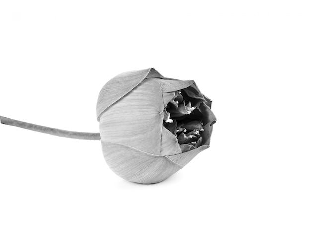 Linda flor de lótus em preto e branco