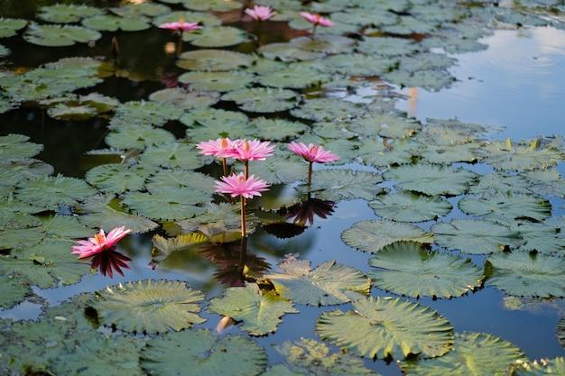 Linda flor de lótus na lagoa, a água da gota em lótus