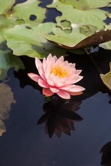 Linda flor de lótus na lagoa