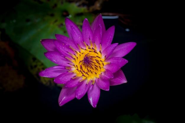 Linda flor de lótus ou nenúfar