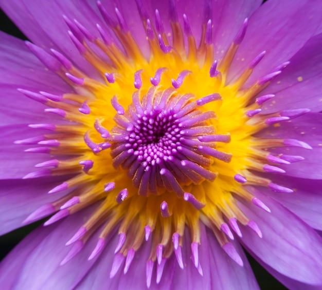 Linda flor de lótus ou nenúfar.