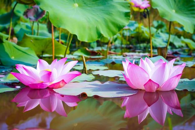 Linda flor de lótus rosa com folhas verdes em fundo de natureza